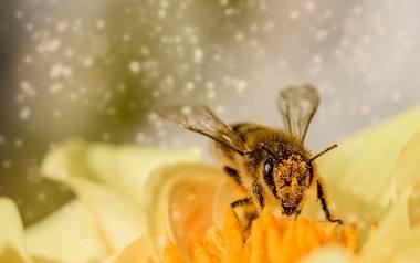 Mleczko pszczele jest pozyskiwane w niewielkich ilościach. Jest cennym dodatkiem do wielu kosmetyków.