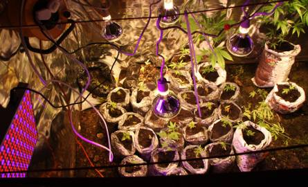 W piwnicy rosły krzaki konopi, pomieszczenie było wyposażone w lampy doświetlające i urządzenia grzewcze.