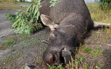 Tak najczęściej kończą się wypadki z udziałem łosi: auto na drzewie, zwierzę martwe.