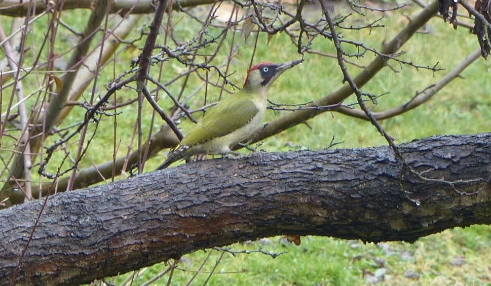 Film do artykułu: Suchedniów. Co to jest - zielone i się śmieje. Rozpoznasz, jaki to ptak?