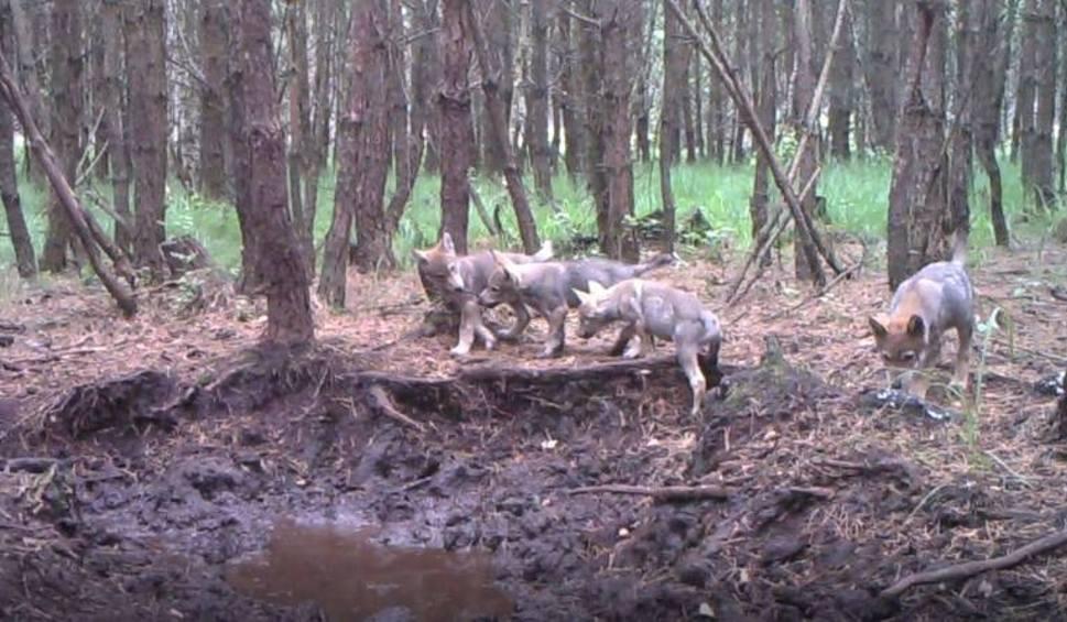 Film do artykułu: Wilki w powiecie świeckim mają się dobrze. Obraz z kamery to potwierdza