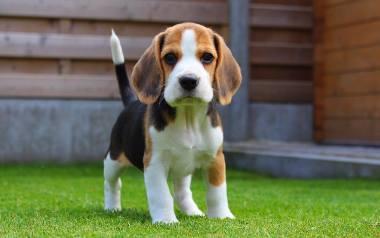 Pierwszą prezentowaną rasą jest beagle. Ta rasa budzi trochę kontrowersji jeśli chodzi o relacje z dziećmi ze względu na jego upór i niezależność. Należy