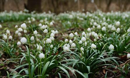 Śnieżyca wiosenna (Leucojum vernum) należy do rodziny amarylkowatych.