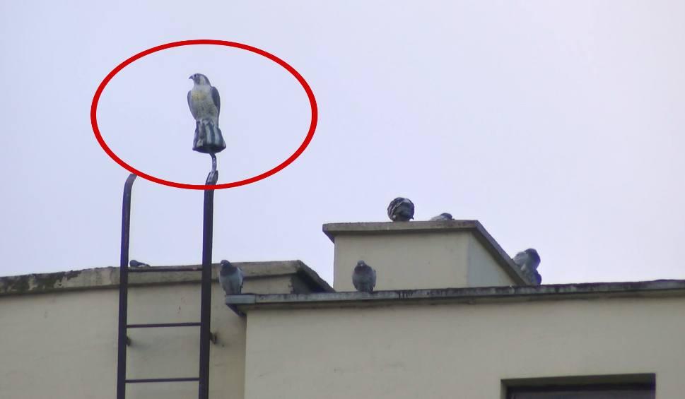 Film do artykułu: Sztuczny jastrząb miał odstraszać gołębie w centrum Strzelec Opolskich. Ale coś poszło nie tak - ptaki przyzwyczaiły się do dziwnego kompana