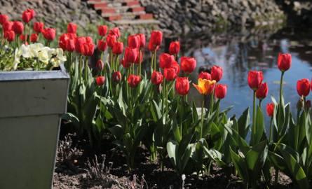 Wysadzone lub wysiane jesienią rośliny korzystają wiosną z wody zgromadzonej w glebie po zimie i szybko kiełkują. Ich wegetacja zaczyna się szybciej