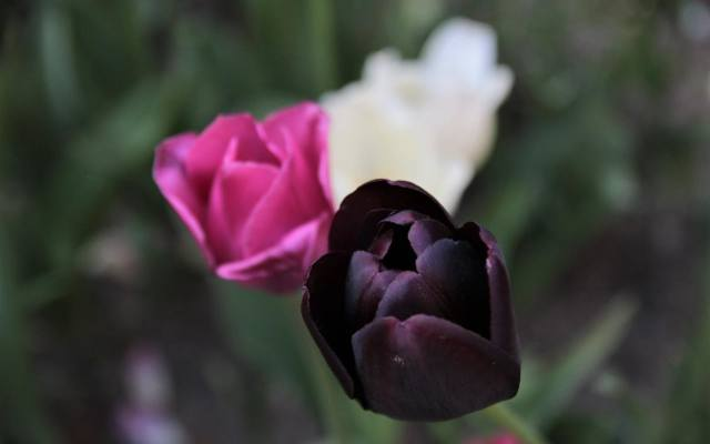 Bez względy na to, jaki kolor mają tulipany, kwiaty te są symbolem wdzięku i elegancji.