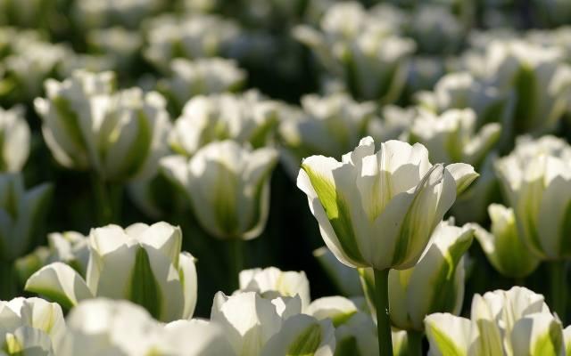 """Tak prezentuje się jedna z odmian tulipanów zielonokwiatowych, o nazwie """"Spring green""""."""