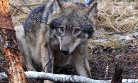 Dramatyczny widok zastał właściciel tych zwierząt. Jest przekonany, że to sprawka wilków zamieszkujących okoliczne lasy.