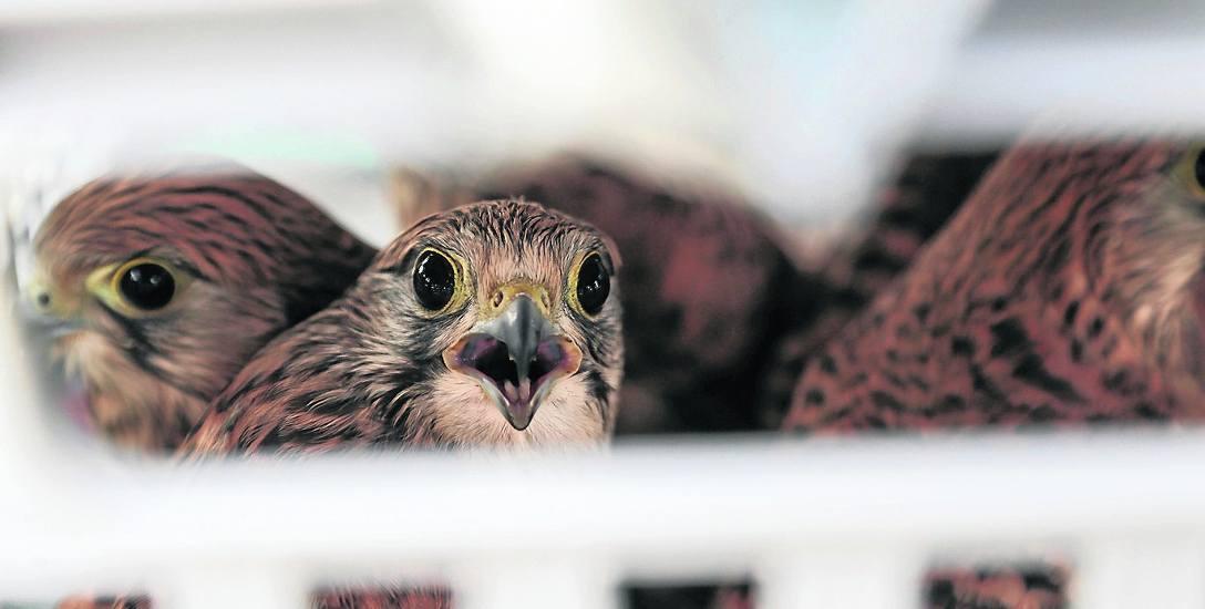 Pustułki to ptaki drapieżne, zamieszkujące głównie tereny rolnicze i miejskie. Gniazdują w szczelinach skał lub w wysokich obiektach, takich jak wieże