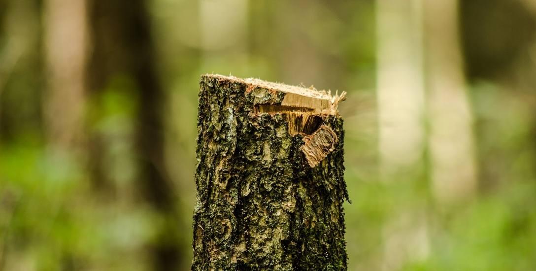 Wielka rzeź czy zabiegi pielęgnacyjne, czyli spór o wycinkę drzew w Wielkopolsce