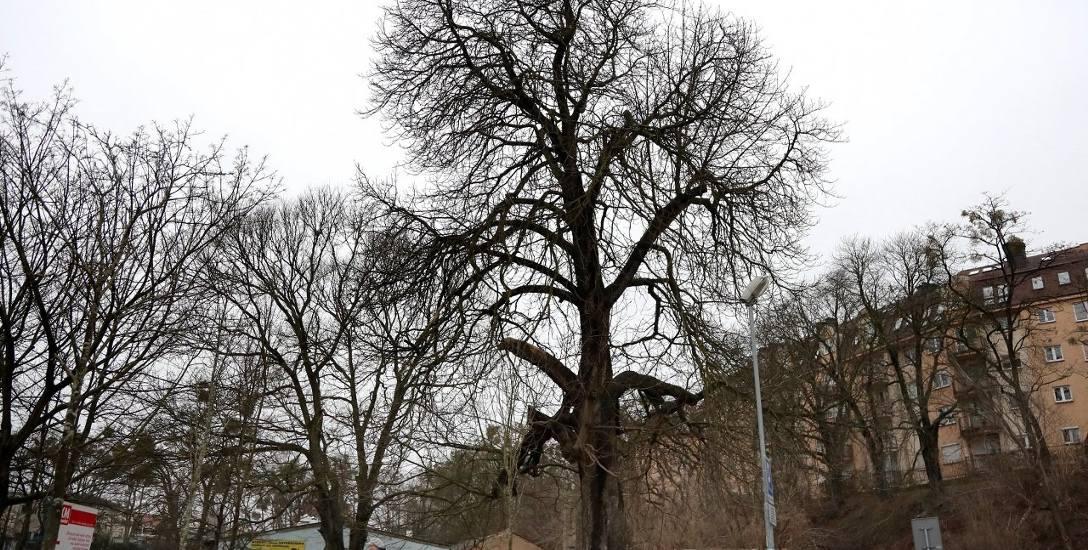 Ten piękny kasztanowiec na tyłach Netto na Niebuszewie, to prawdopodobnie najstarsze drzewo w tej dzielnicy. Referat ochrony środowiska magistratu zapewnia,