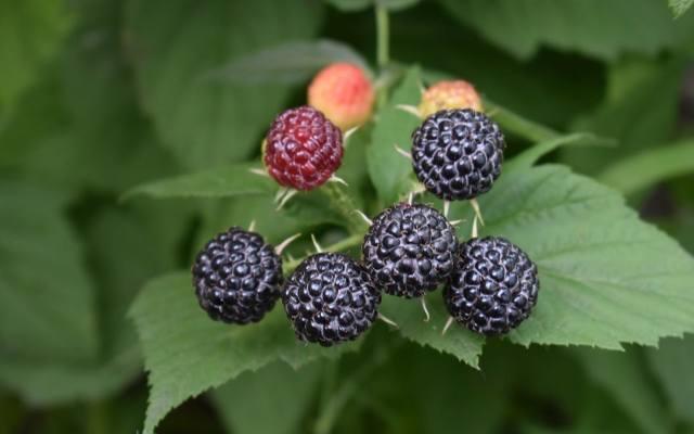 Owoce czarnej maliny przypominają jeżyny. Jednak nie jest to żadna krzyżówka tych roślin. Jest nią za to malinojeżyna o czerwonych owocach.