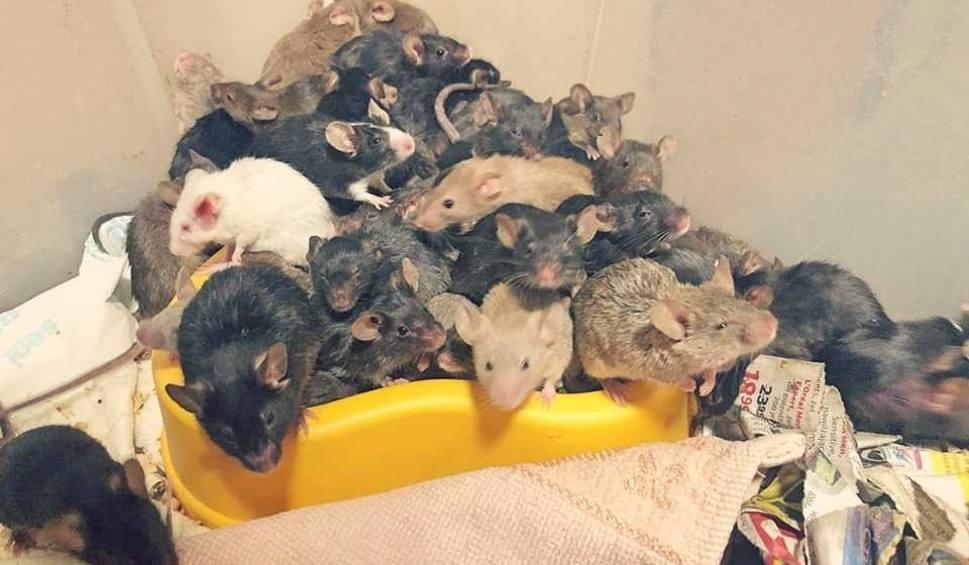 """Film do artykułu: Obrzydliwe! Tysiąc myszy w mieszkaniu we Wrocławiu. """"Hodowla wymknęła się spod kontroli"""""""
