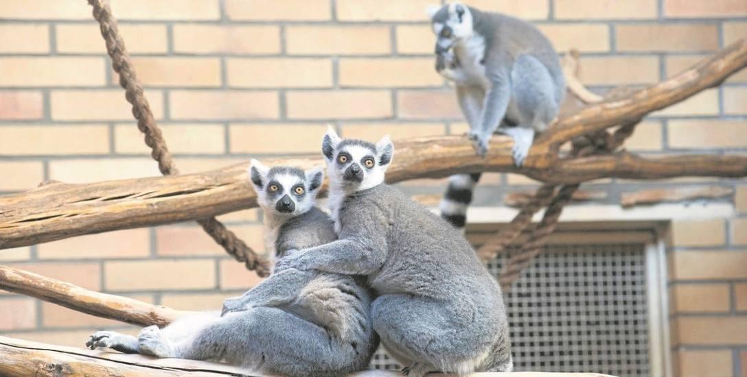 W opolskim ogrodzie zoologicznym możemy oglądać trzy jednopłciowe grupy lemurów katta.