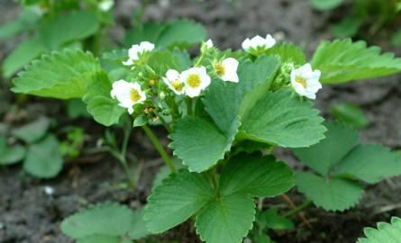 Będziemy mieć na pewno mniej pracy przy pielęgnacji truskawek, jeśli zastosujemy np. czarną ogrodniczą folię.