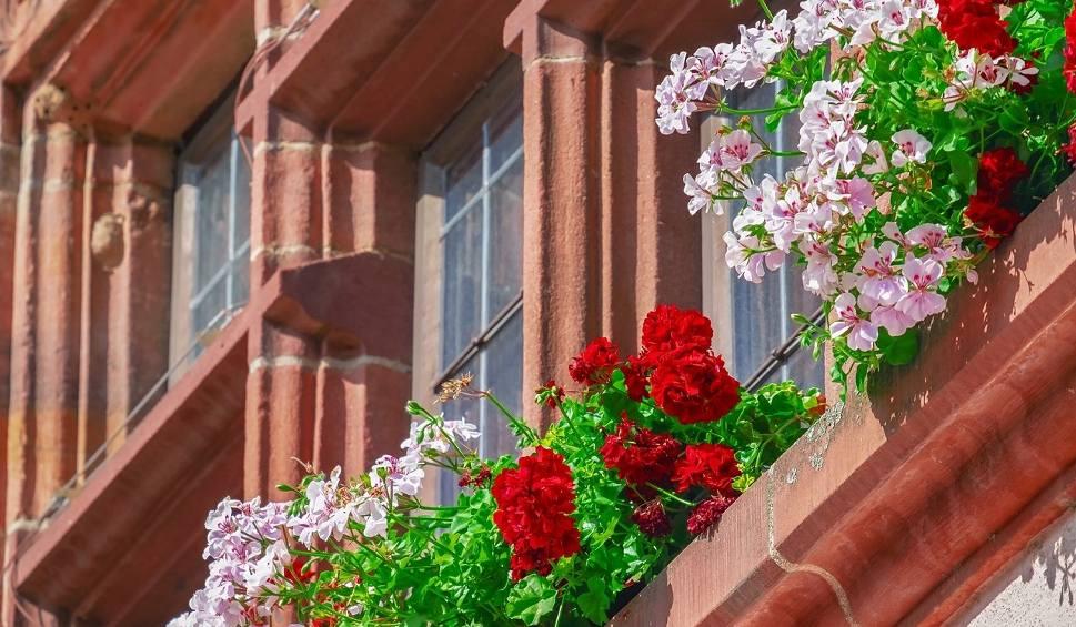 Film do artykułu: Kwiaty na balkon - słoneczny. To one najpiękniej zakwitną od południowej strony [zdjęcia]
