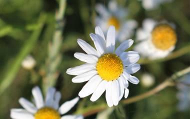 Rumianek to chwast. Ale też popularna roślina lecznicza, która ma właściwości przeciwzapalne, przeciwalergiczne, bakteriobójcze i uspokajające. Jest