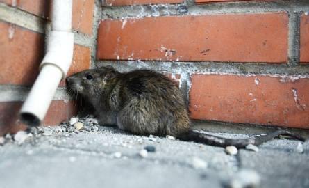 Wiosenna walka z 3 mln miejskich szczurów. Sprawdź gdzie jest ich najwięcej [GALERIA]