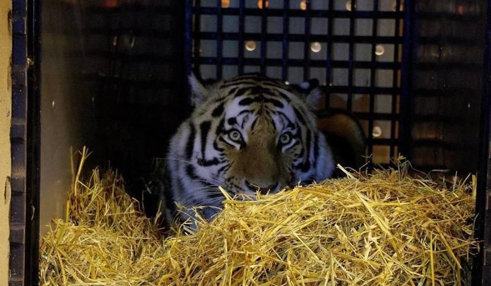 Film do artykułu: Do zamojskiego zoo przyjechał kolejny kot. To tygrysica Isla (ZDJĘCIA)
