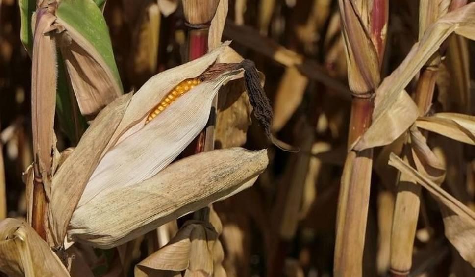 Film do artykułu: Strefa Agro. Pomoc po suszy i klęskach. Dziarskie trendy wśród kół gospodyń wiejskich