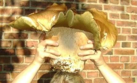 Prawdziwek - gigant z budachowskich lasów! Jeśli znalazłeś większego grzyba, napisz nam o tym