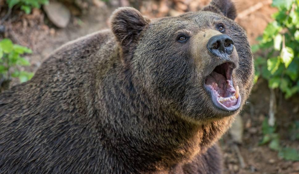 Film do artykułu: 50-latek z gminy Komańcza cudem przeżył atak niedźwiedzia. Poturbowany o własnych siłach uciekł z lasu