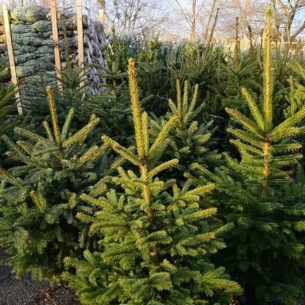 Jak co roku, świeże świąteczne drzewko można kupić od leśników.