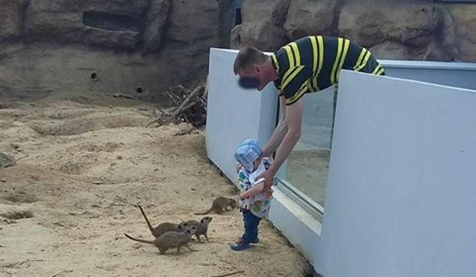 Film do artykułu: Wsadził dziecko do wybiegu z drapieżnymi surykatkami. W chorzowskim zoo też są podobne sytuacje