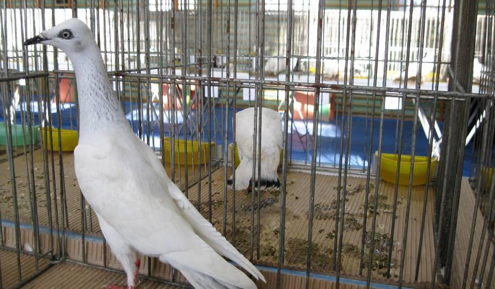 Film do artykułu: Wystawa gołębi rasowych i drobiu ozdobnego w Starachowicach