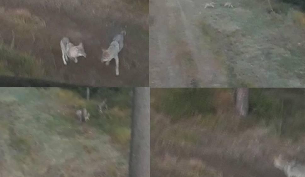 Film do artykułu: Wilki koło Szczecinka. Myśliwy nagrał film z ich zabawą [WIDEO]