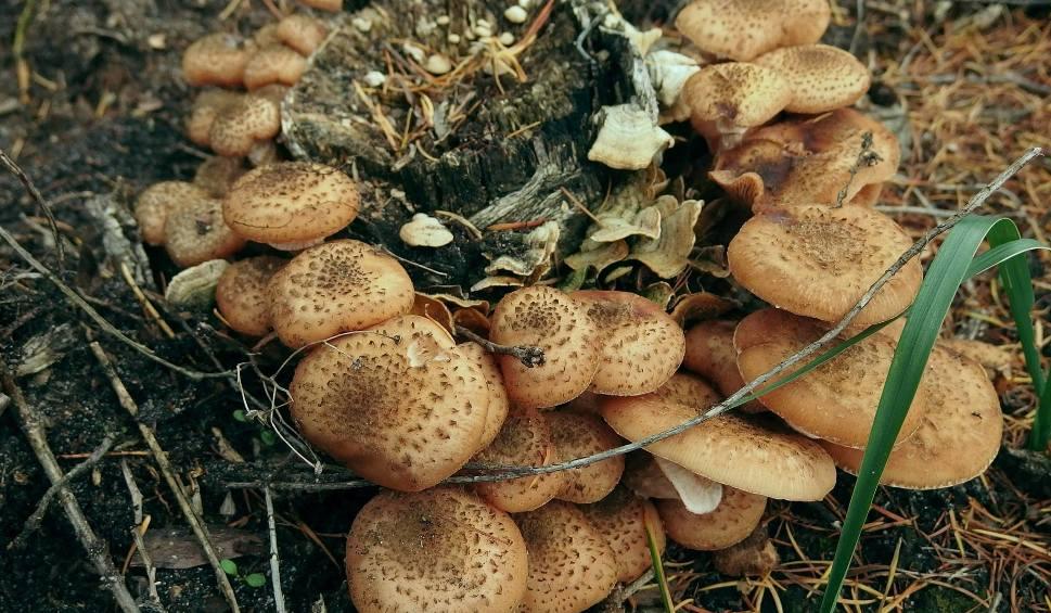 Film do artykułu: W starachowickich lasach jest coraz więcej podgrzybków i wysyp opieniek [ZDJĘCIA]
