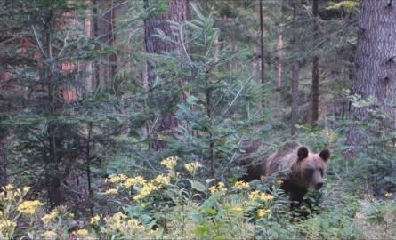 Bliskie spotkanie z niedźwiedzicą i jej młodymi w Bieszczadach [WIDEO]