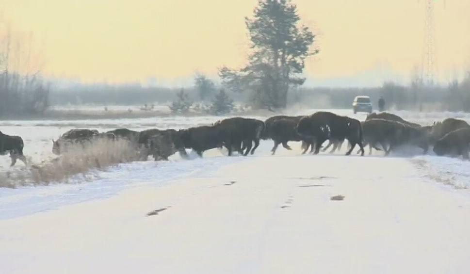 Film do artykułu: Puszcza Białowieska. Żubry trzeba przenieść. Nie mieszczą się (wideo)