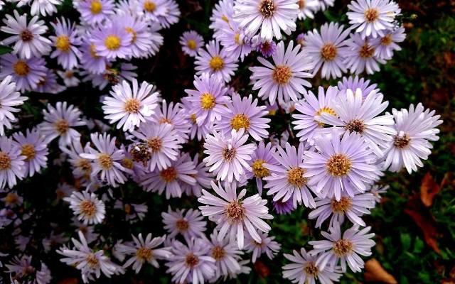Astry nowobelgijskie mają delikatne płatki wybarwione na biało, różowo, fioletowo lub czerwono.