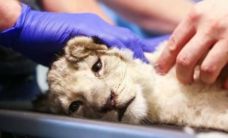 Mała lwica na badaniach u wrocławskich weterynarzy [ZDJĘCIA, FILM]