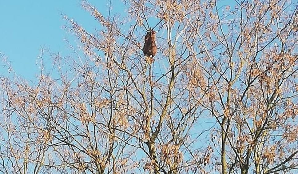 Film do artykułu: Grzędzice. Szop na drzewie. Zwierzak zwiał strażakom