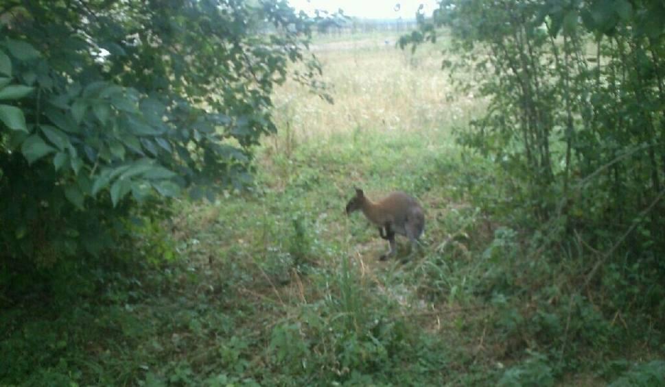 Film do artykułu: Kangur w parku w Przeczowie pod Namysłowem