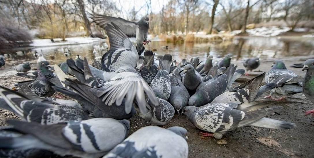 Gołębie - jedni je kochają i podziwiają, a inni ich nie znoszą