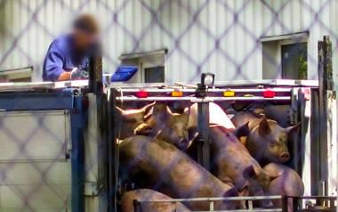 Kamery zarejestrowały m.in., jak przestraszone zwierzęta są zrzucane przez pracownika z ciężarówki
