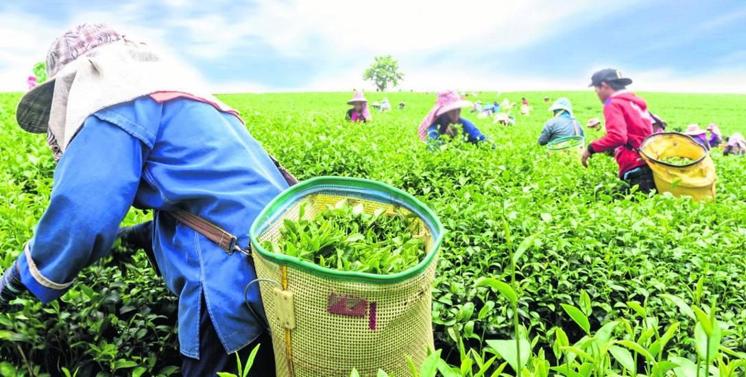 Zielona i czarna herbata to liście i pączki tej samej rośliny