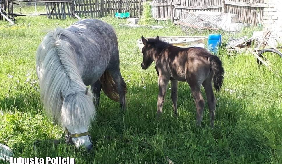 Film do artykułu: Jednej nocy ukradł... trzy konie w Sulęcinie. Policjanci szybko je odzyskali. Złodziej usłyszał zarzuty