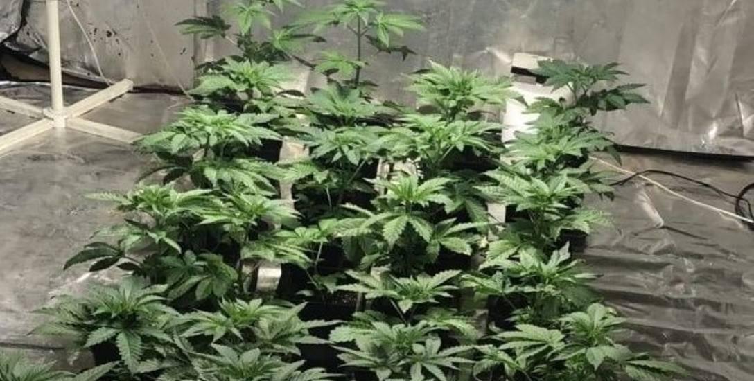 Domowa plantacja marihuany z trójką dzieci w tle