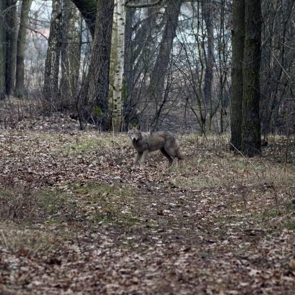 Tego wilka sfotografowano w lesie koło Solca Kujawskiego