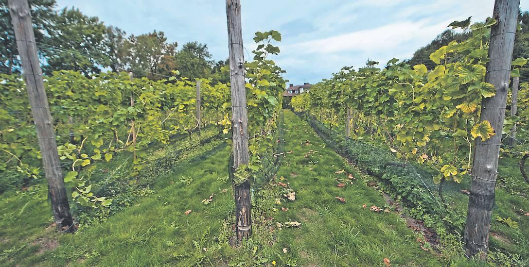 Wino z północy, czyli prawdziwa winnica znajduje się tuż obok nas, w Darłowie