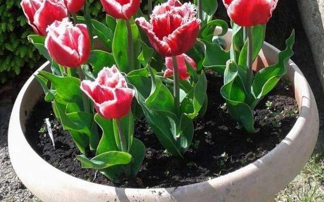 Bez względu na wielkość ogrodu, tarasu czy balkonu – każdy może cieszyć się kolorami wiosennych kwiatów. Wystarczy wysadzić rośliny w donicy.