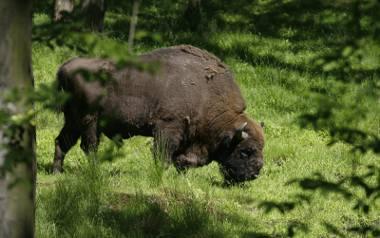W Bieszczadach żyje, według szacunków leśników, ponad 450 żubrów. To najdziksze górskie  stado na świecie