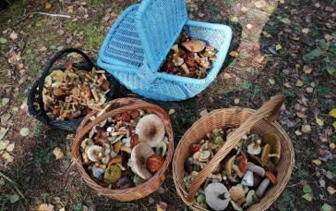 Kurki, prawdziwki, zajączki, krawce, maślaki - w lasach województwa łódzkiego trwa letni wysyp grzybów. Jest ich znacznie więcej niż przed rokiem, a