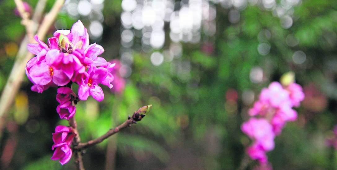 Kwitnie wawrzynek wilczełyko, który powinien mieć kwiaty nie wcześniej niż w lutym.