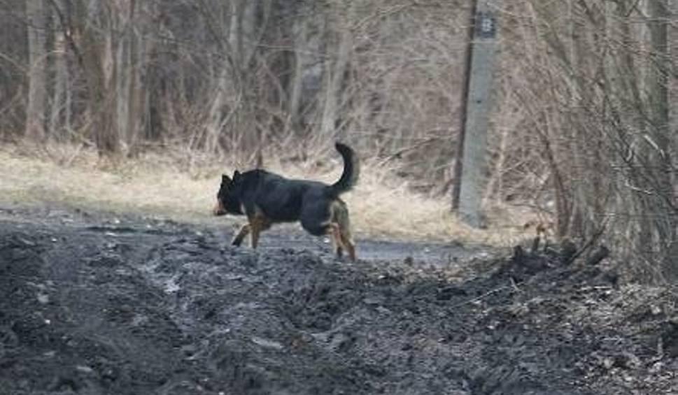 Film do artykułu: Burmistrz Baranowa Sandomierskiego apeluje: - Pilnujcie psów!