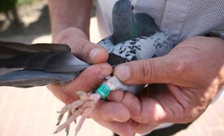 Gołębie mają opaski z chipami, pozwalające co do sekundy zmierzyć czas lotu.